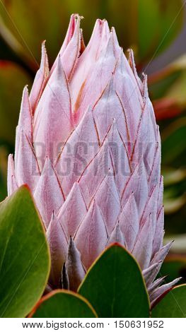 Close up of Protea bud in bright sunlight