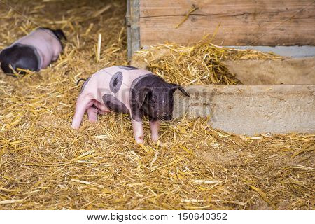 Baby pig in its coop - Image with a cute baby pig from the swabian-hall swine breed in a small ranch from southern Germany.