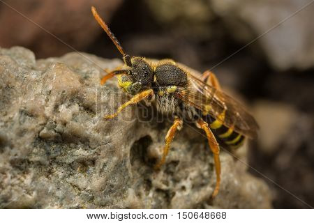 A male Nomada goodeniana cuckoo bee resting on a rock.