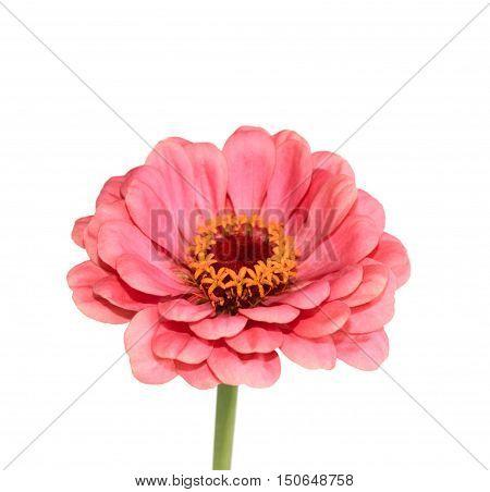 Pink zinnia close up isolated on white background