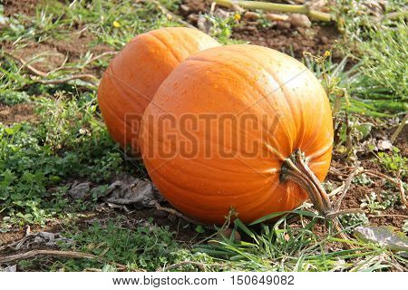 Two Bright Orange Pumpkins Ready to be Harvested.