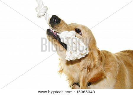 Golden Retriever Dog Biting Rope Toy