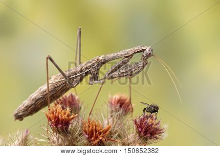 Closeup Rivetina nana (Mantodea) hunting a fly on top prickly plant on yellow-green background