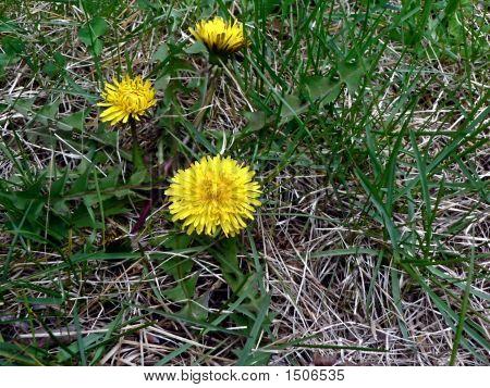 Dandelion Weed 4