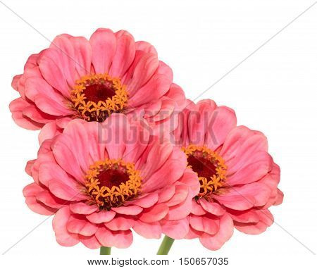 Bunch of three pink zinnia isolated on white background