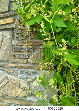 green vine growing on a beautiful stone fence