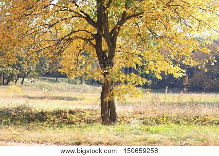 Autumn tree with yellow leaves in good weather day