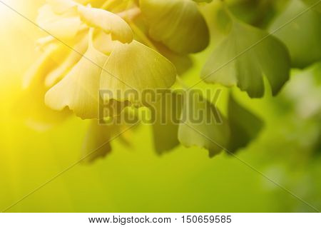 Green leaves of Ginkgo Biloba - healing plant, nature sunny background