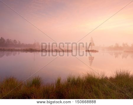 Young Birch Tree On Island In Middle Of Swamp Lake. Purple Morning  With Peaceful Water