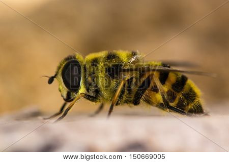 Myathropa florea hoverfly in profile. Yellow and black patterned insect in the family Eristalini showing yellow hairs and compound eyes