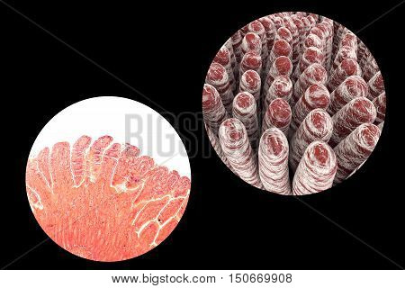 Villi of small intestine, light micrograph and 3D illustration
