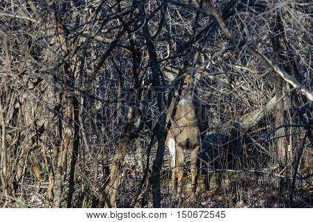 Trophy White-tail buck camouflaged in the thick bushes.