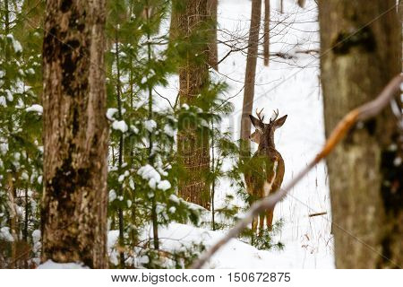 Young Whitetail Buck standing alert in a snow filled woods.