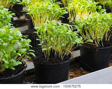 Fresh Herbs Growing In Pots, In A Greenhouse