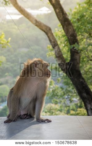 Monkey sit on the cement floor with background sunset It's live in forest at Khao Rang Hill PhuketThailand(popularity viewpoint in Phuket) with blurred forest background