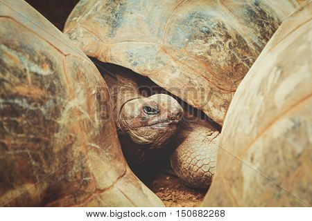 giant turtles in tropical park of Mauritius