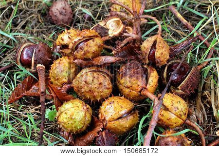 Conkers in shell. Horse chestnut seeds. Buckeyes in grass.