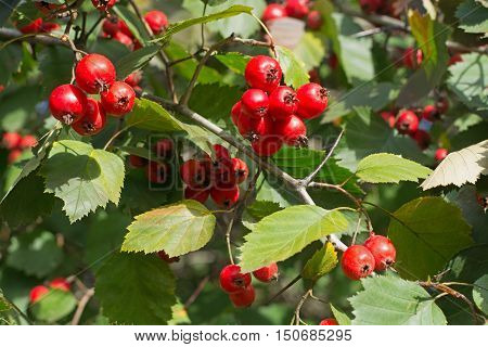Hawthorn Tree ordinary. Ripe fruit on the branch.
