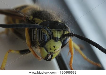 insects, animals, beetles, wasp, eyes, eyes wasps, stabilizatori, stinging, Hymenoptera