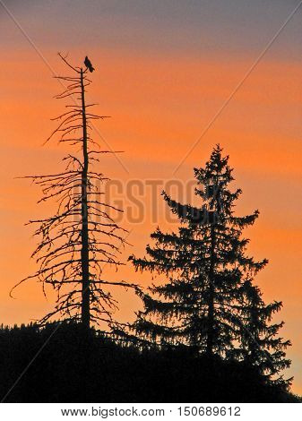 Living and dying tree silhouette in sunset