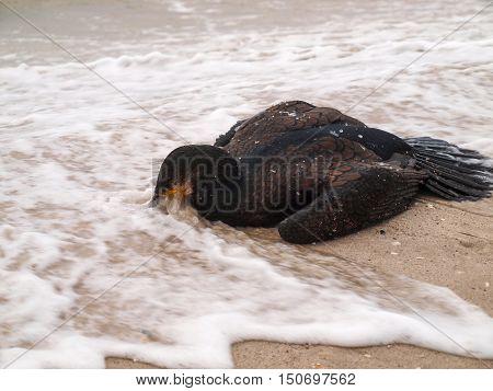 Rolling wave effusions deceased cormorant on coastal sea sand