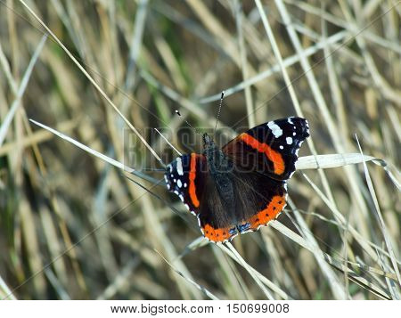 The admiral butterfly (Vanessa Atalanta) of dry grass .