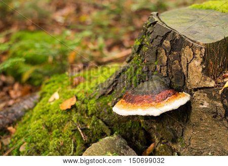 Tree bark with Fomes fomentarius (tinder fungus) closeup