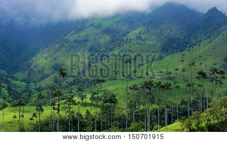 Landscape of hills covered in wax palm trees in Cocora Valley near Salento Colombia