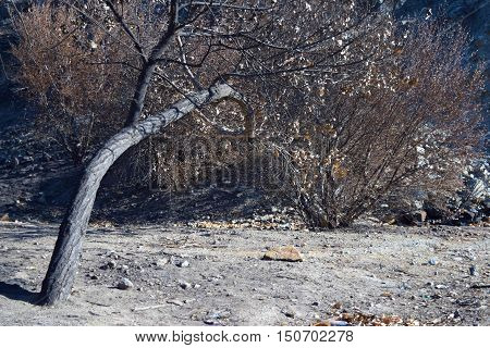 Charcoaled landscape with burnt trees and plants caused from the Blue Cut Fire taken in Cajon, CA