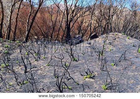 Charcoaled landscape including burnt chaparral plants and a riparian forest caused from the Blue Cut Fire taken in Cajon, CA