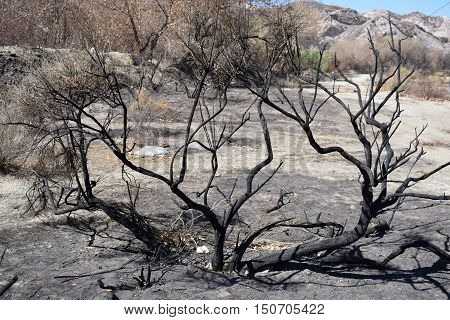 Charcoaled landscape including a burnt Sage Plant caused from the Blue Cut Fire in Cajon, CA