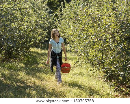 Teen girl picking apples in orchard in North Carolina