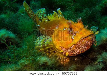 Portrait Of Scorpionfish