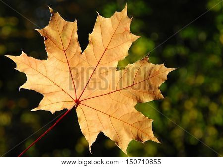 Yellow maple leaf. Abstract, autumn, beautiful. Maple.