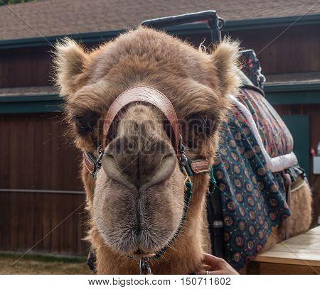 Closeup portrait of a brown camel.  Macro shot.