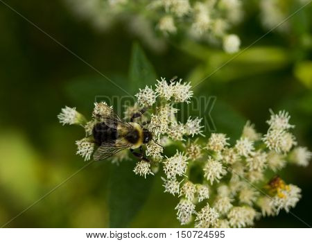 Bumblebee collects nectar from clusters of white flowers