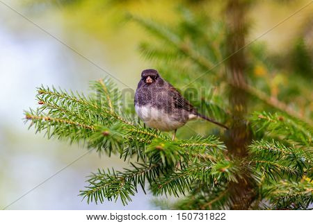 The dark-eyed junco is a species of the juncos, a genus of small grayish American sparrows. This bird is common across much of temperate North America and in summer ranges far into the Arctic.