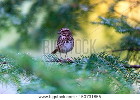 Female Purple Finch is the bird that has been famously described as a sparrow dipped in raspberry juice.This was taken deep in a boreal forest in North Quebec Canada.