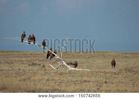nature, animals, bird, kites, kite, predator, scavenger, steppe, arid steppe, summer