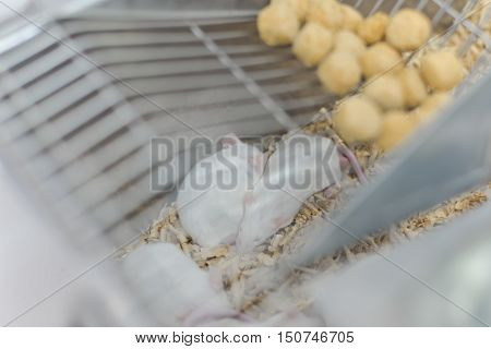 Laboratory animals for reserch and education rat