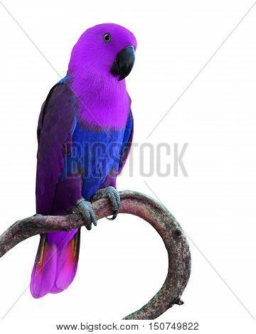Purple Parrot Bird