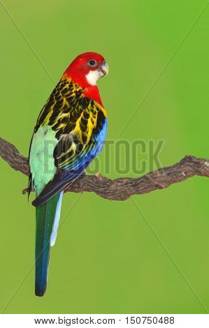 Eastern Rosella Parrot Bird