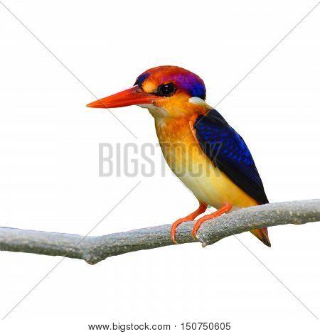 Oriental Dwarf Kingfisher Bird