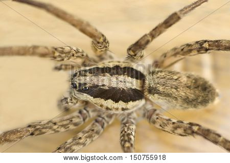 Close up photo of a female wolf spider.