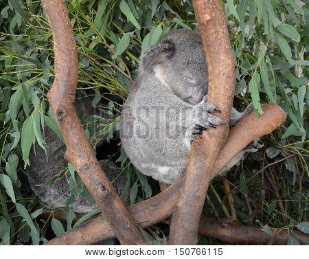 Sleeping koala sitting on an eucalyptus tree branch - Australian wildlife.