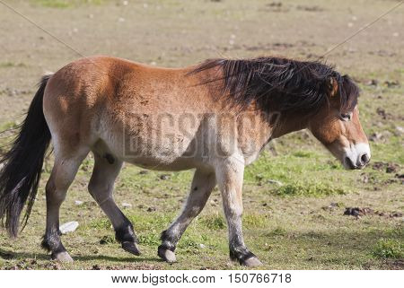 a swedish pony breed, the gotland pony