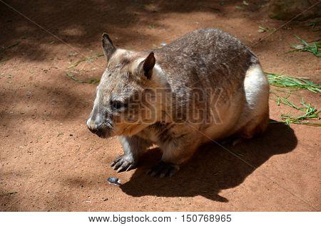 Australian wombat juvenile Vombatus ursinus. Common wombat (Vombatus ursinus). Wild life animal.
