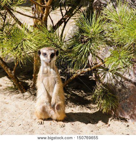 Meerkat standing on guard on sand in zoo