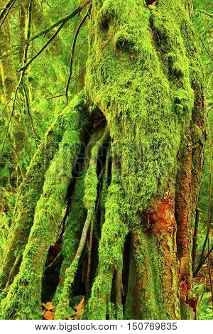 a picture of an exterior Pacific Northwest old growth mossy Western red cedar tree