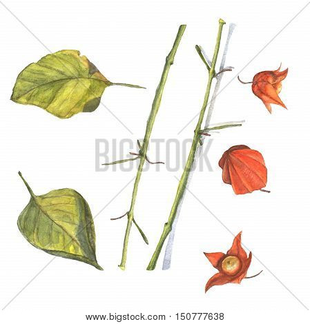 Watercolor illustration of an orange physalis with green leaves. Hand made painting.